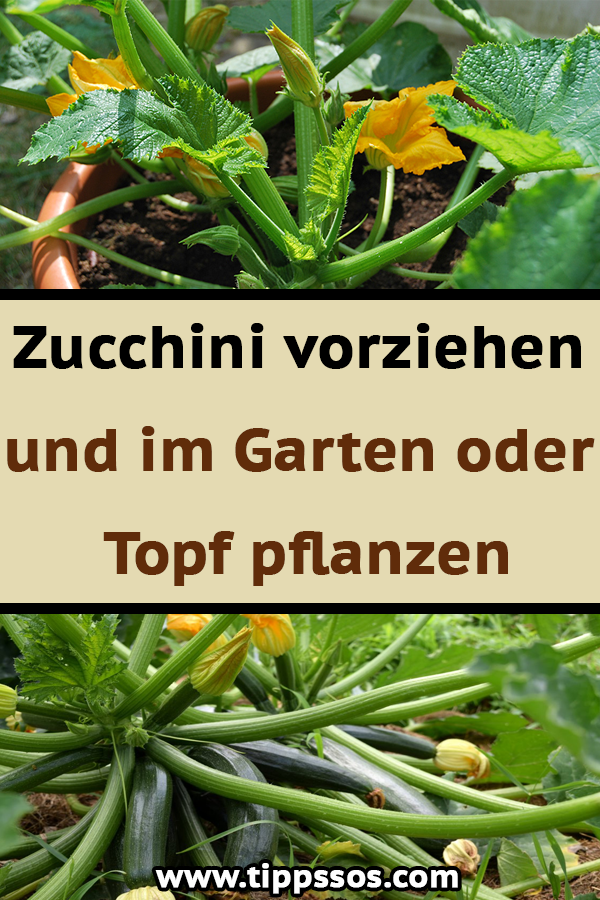 Zucchini Vorziehen Und Im Garten Oder Topf Pflanzen Green Beans Green Vegetables