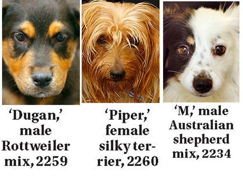 Lucas County Dogs for Adoption 803 Toledo Blade