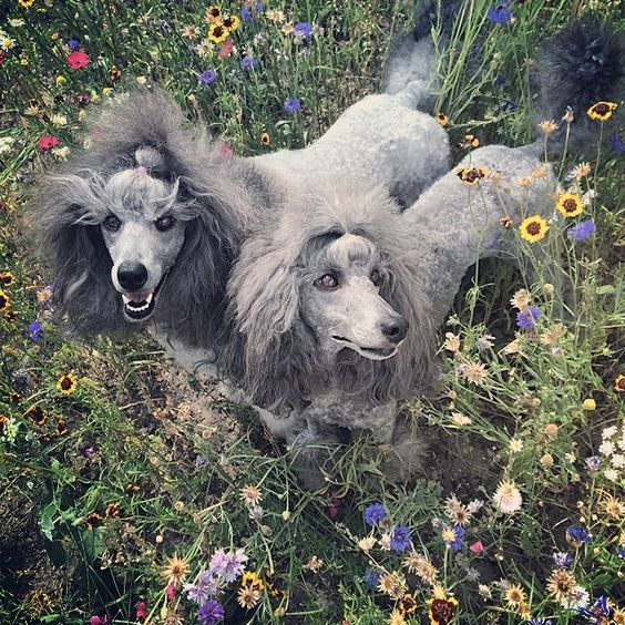 Oodles Of Poodles Photo By Stylecrow Poodle Dog Poodle Puppy