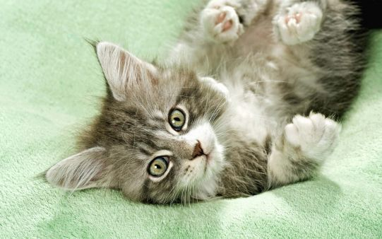 A beautiful picture of #Cat Playing Wallpaper downloaded from http://alliswall.com