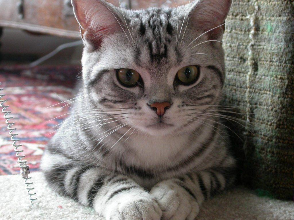 good lookin kat American shorthair kitten, American