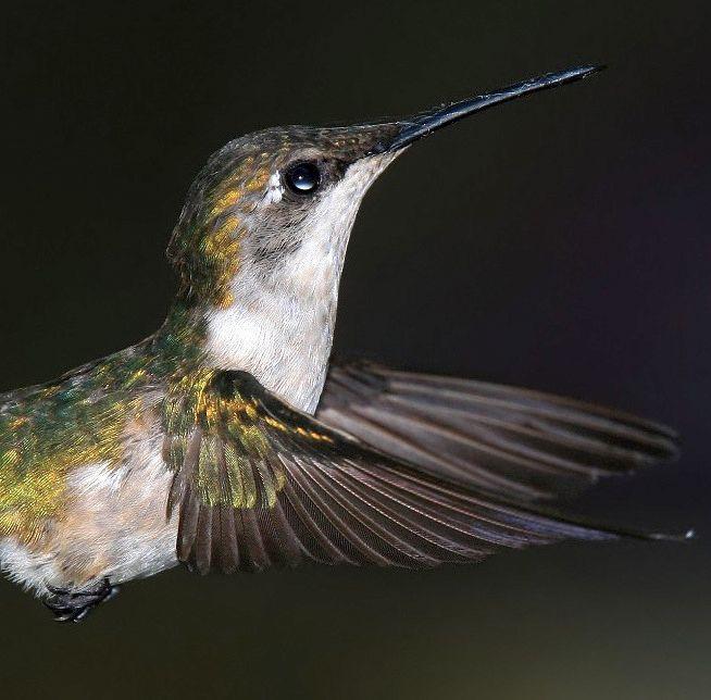 Secrets of Digital Bird Photography - 7.7 Freezing Hummingbirds