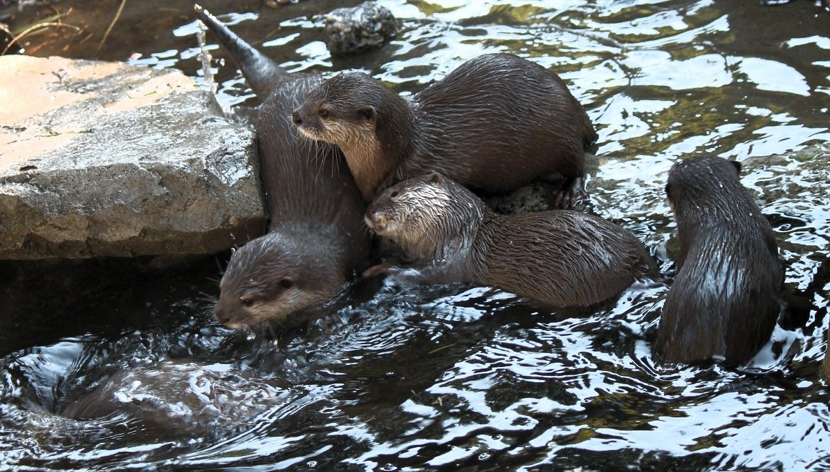 Maggielovesotters Otters Woodland Park Zoo Otter Love