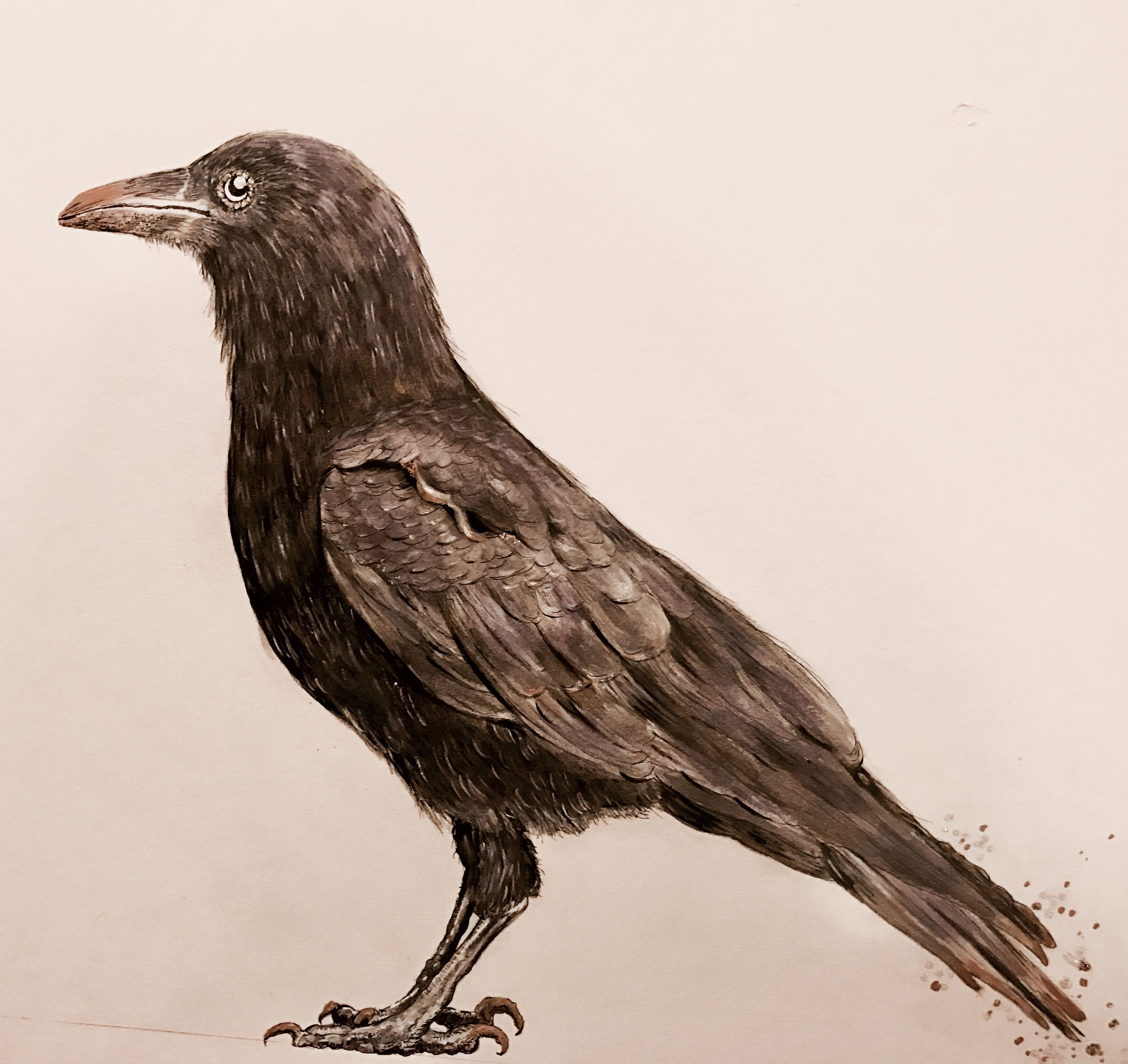 30++ Crow reference info