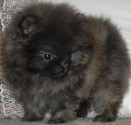 Poetry Pomeranians Mai Ryms Wishes Granted Grant Washington Cute Pomeranian Cute Cats And Dogs Pomeranian Breed