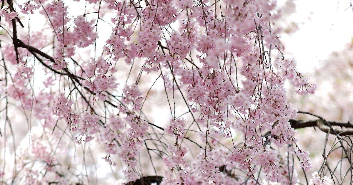 Terkeren 12 Gambar Bunga Sakura Asli 34 Ide Bunga Mawar Dari Tomat Gambar Bunga Untuk Cara Pembuatan Gambar Sketsa Berikutnya Gambar Bunga Bunga Sakura Bunga