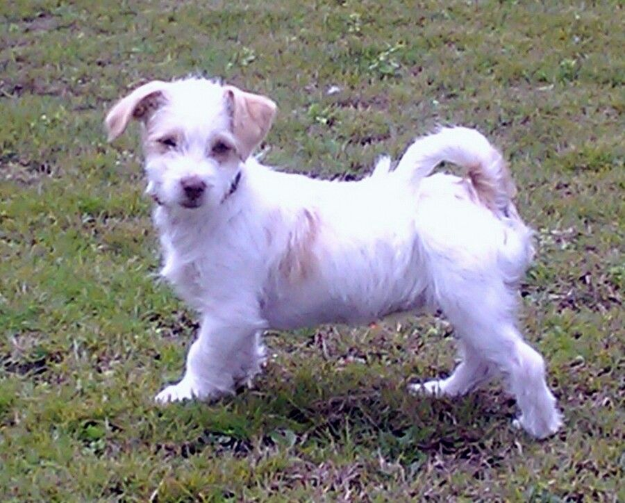 Jack Russell Cross Maltese Jack Russell Cute Animals Dogs