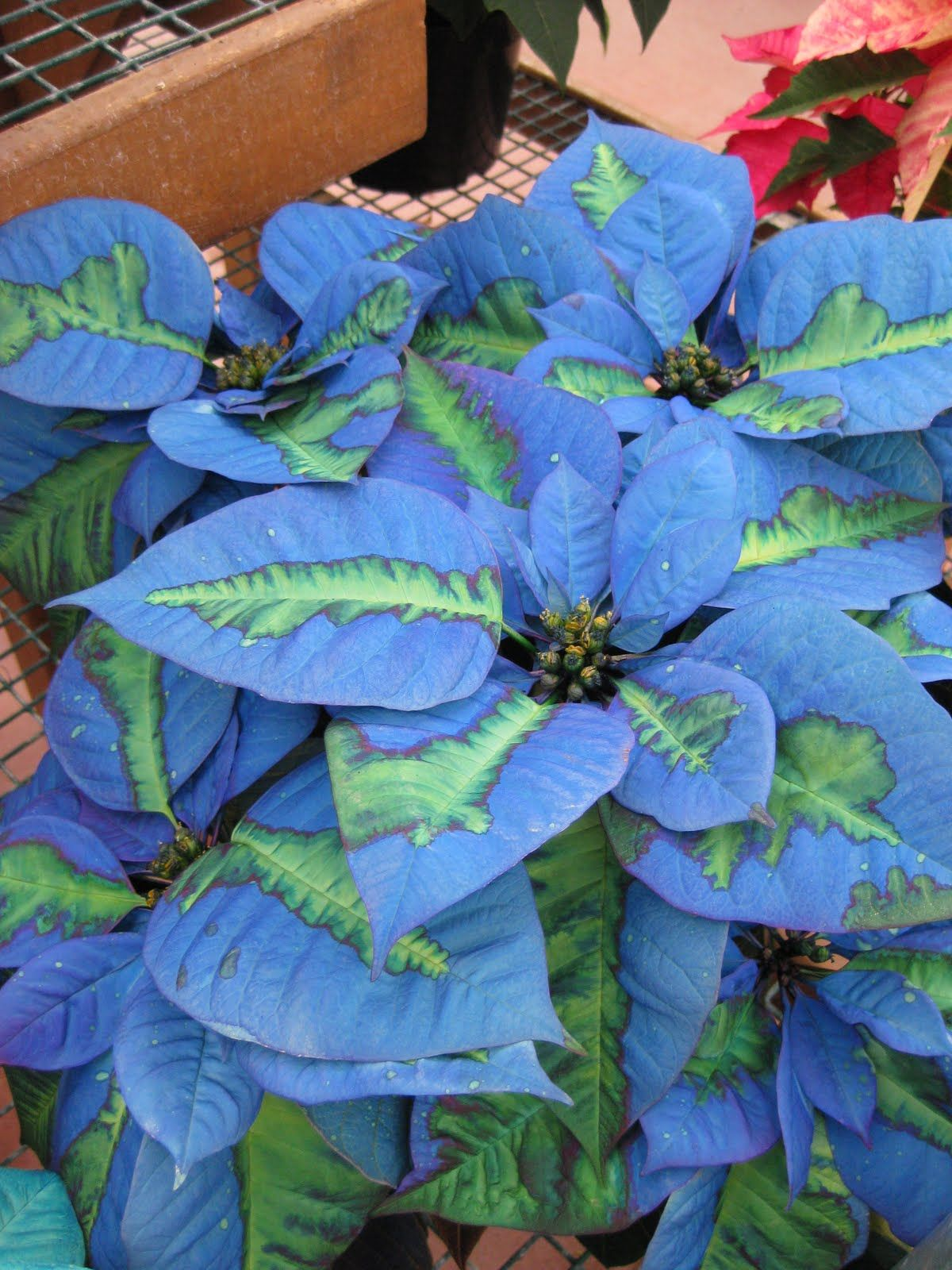 Blue Poinsettia Google Search Christmassy Pinterest