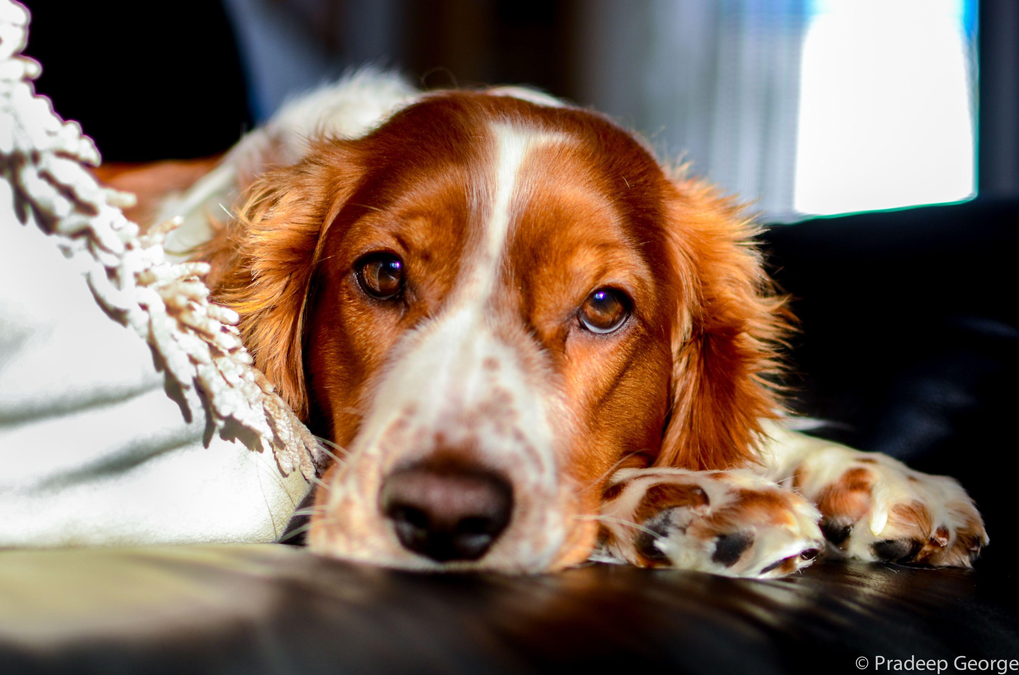 Welsh Springer Spaniel Sleepy Head Welsh Springer Spaniel Springer Spaniel Spaniel