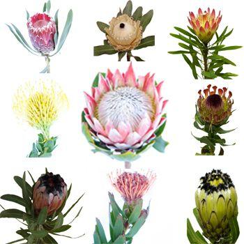Protea Variety Pack Fiftyflowers Com Wedding Flower Girl Basket Wedding Flowers Roses Flower Bouquet Wedding