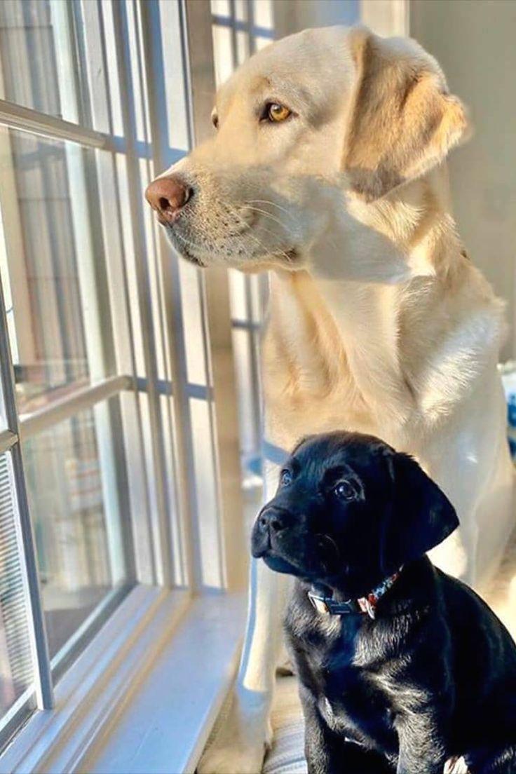 #labrador  #labradorretriever  #lab  #labradoroftheday  #blacklab  #yellowlab  #labradors  #labradors_  #labradorlove  #labradorpuppy  #labpuppy  #lab  The contrast ?