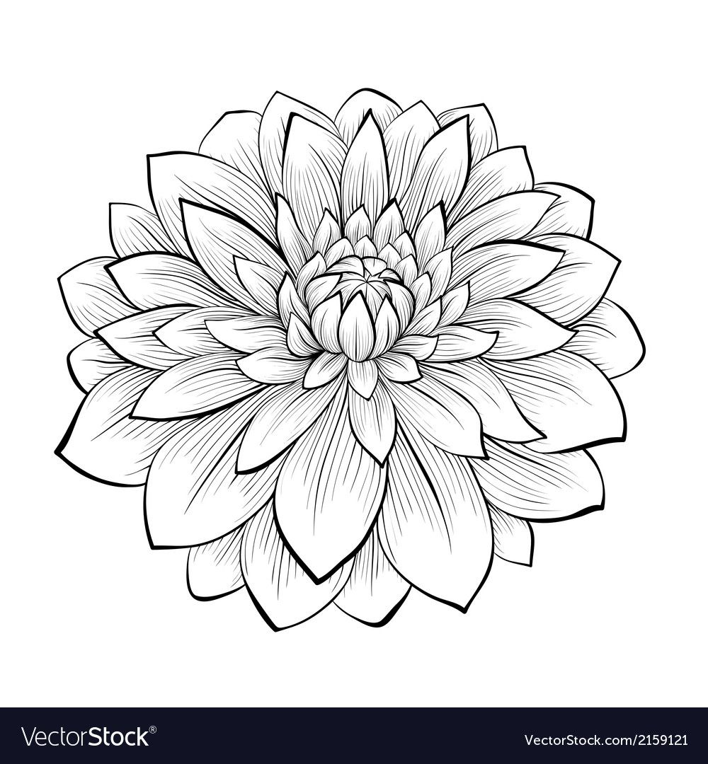 beautiful monochrome black and white dahlia flower isolated Clipart Image