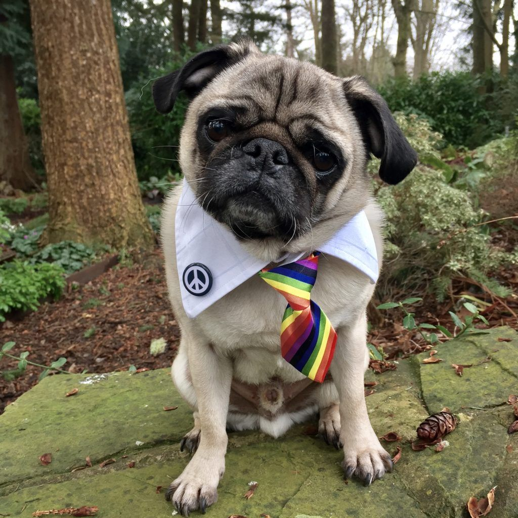 Doug The Therapy Pug Wants To Make Gays Everywhere Happy Pugs