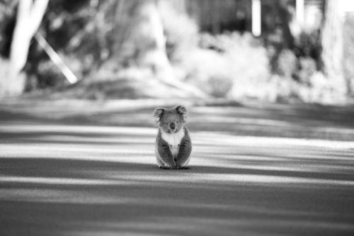 The First Koala by David Rochas