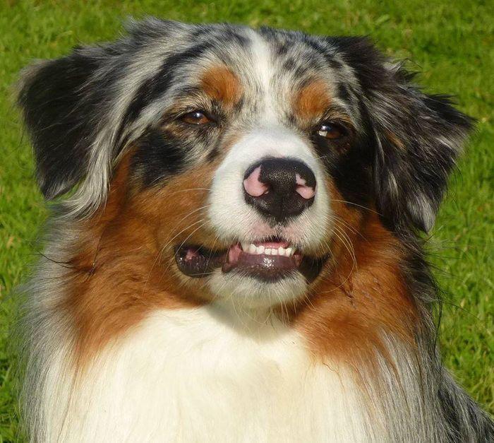 Dog - Australian Shepherd - Gekko-Hizak on www.yummypets.com