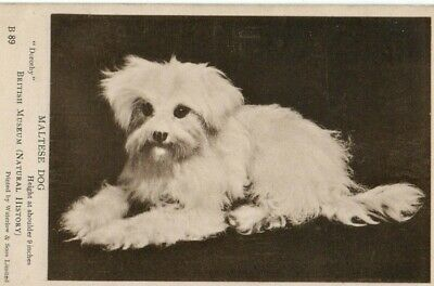 Good Condition British Museum Maltese Dogs Dog Names