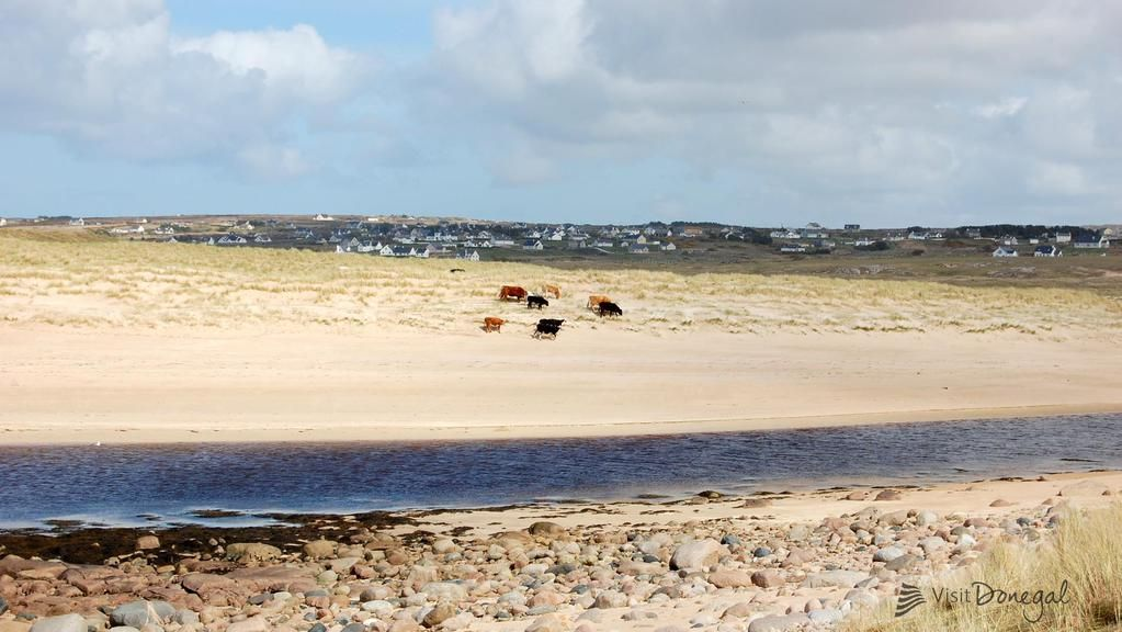 Cows enjoying a day at the beach in Derrybeg!  http://dch.ie/11V00XB