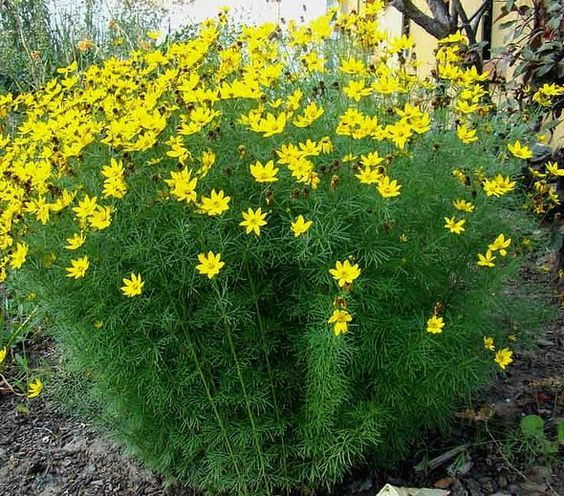 Coreopsis Verticillata Zagreb Planted On The Fence Line 2nd Section Planting Flowers Perennial Garden Plants