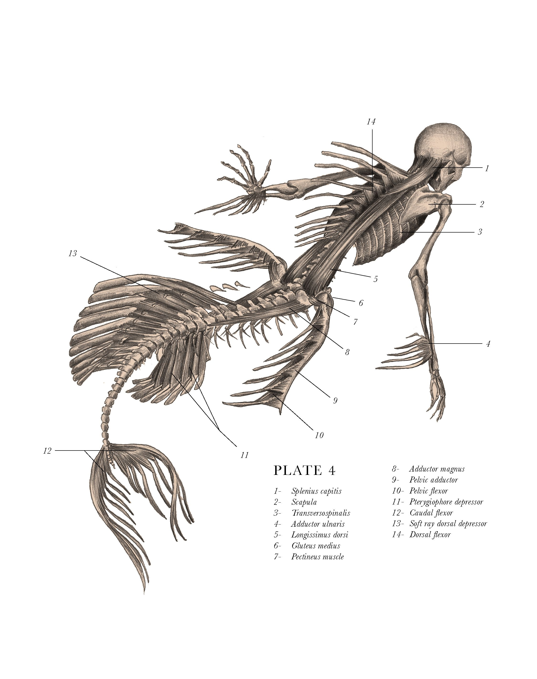 hight resolution of mermaid skeletal system rear view