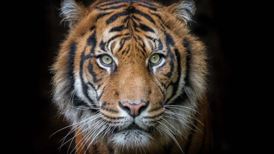 Tiger Portrait Hd Wallpaper Download Hd Wallpapers For Pc