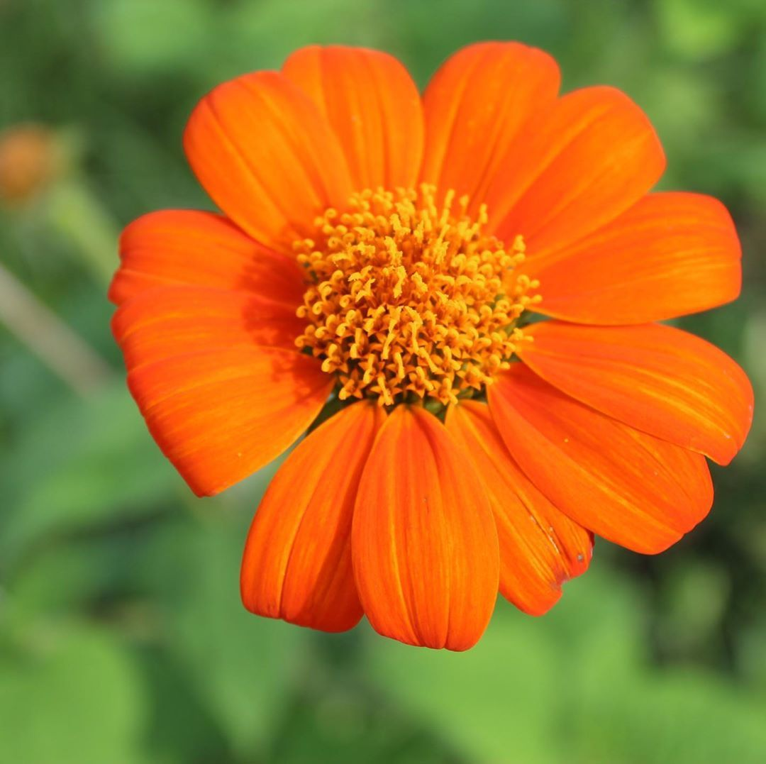 """BloomyBliss on Instagram: """"Our first Tithonia flower/ Mexican sunflower #flower #flowers #indiaflower #indiaflorist #flowerlovers #flowerlover #flowerlove…"""""""