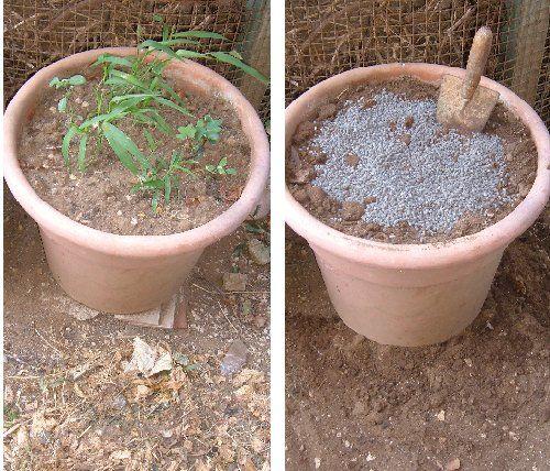 Il vaso va preparato con abbondante concime nella foto lo for Coltivare more in vaso