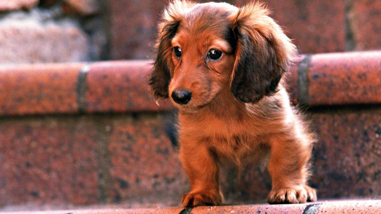 Red Long Haired Dachshund Puppy Dachshund Puppy Miniature