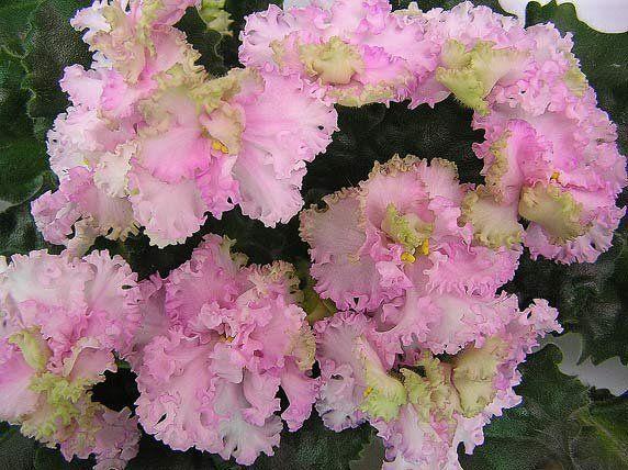 Фиалка Rosie Ruffles: описание и фото цветка   Сенполия