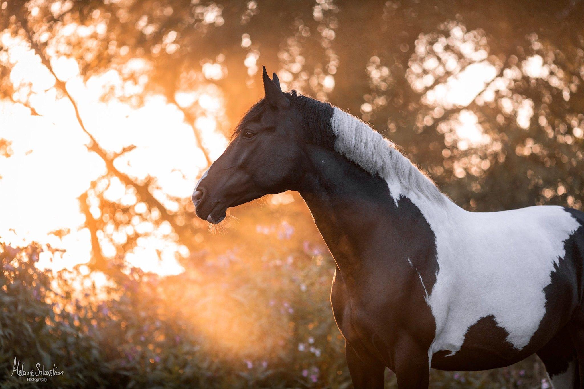 Pferd im Sonnenaufgang mit Nebel by Melanie Sebastian Photography #Horse Pinto Stute Pferdebild
