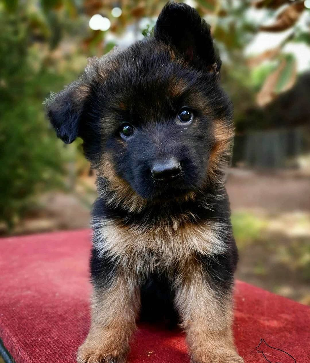 Shepherds Forever On Instagram Look At This Tiny Beauty Credit By G German Shepherd Puppies Training Cute Dogs Breeds Cute German Shepherd Puppies