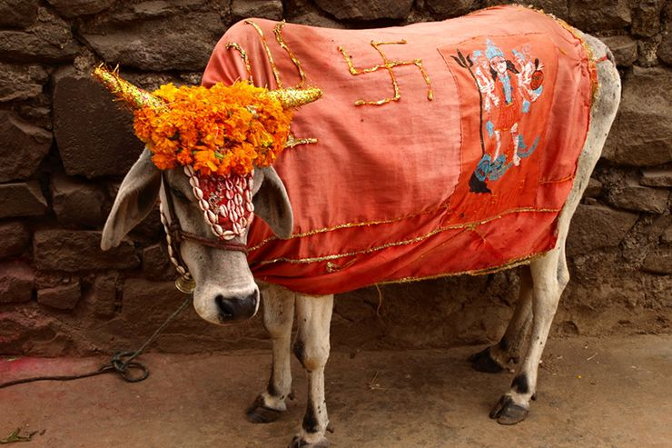 A holy cow in India, Pongal a 4 day celebration in January | Cow, Holy cow,  India