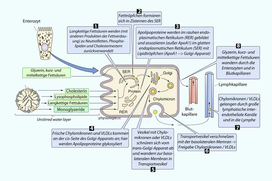 Physiologie Funktion Verdauungsprozesse | Gesundheit | Pinterest