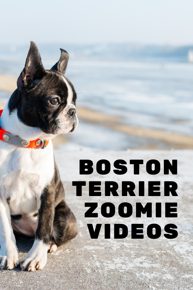 Boston Terrier Zoomies Why How When Videos Boston Terrier Society Boston Terrier Funny Boston Terrier Boston Terrier Dog