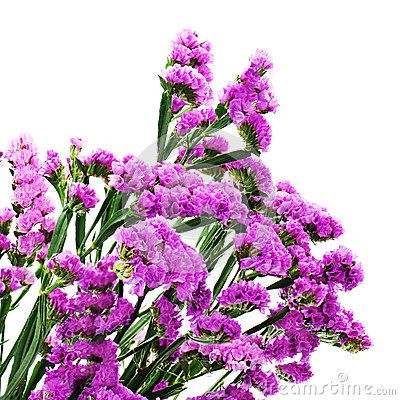 Bouquet from purple statice flowers isolated on white background by bouquet from purple statice flowers isolated on white background by rodrusoleg via dreamstime mightylinksfo
