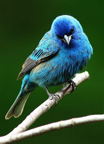 Indigo Bunting - blue on blue on blue!