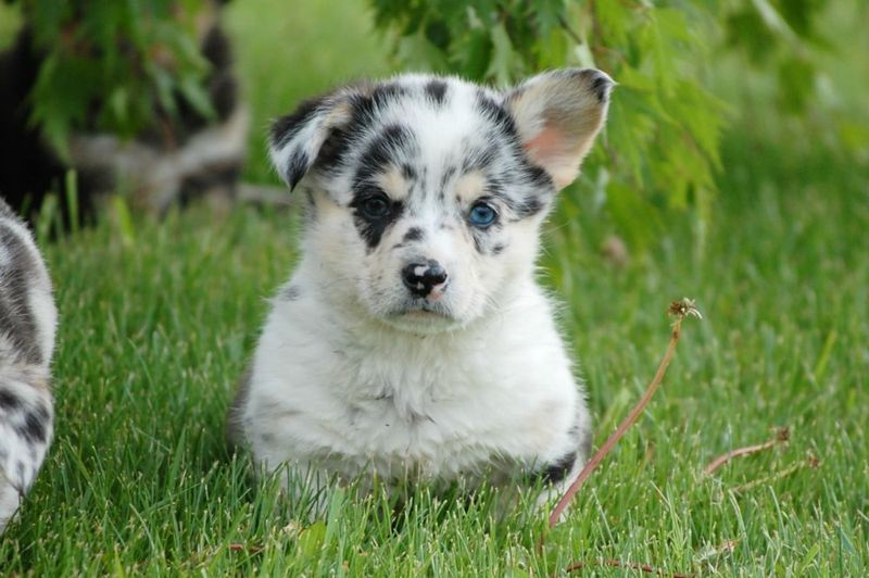 Kijiji Blue Merle Male Corgi Puppy Puppies