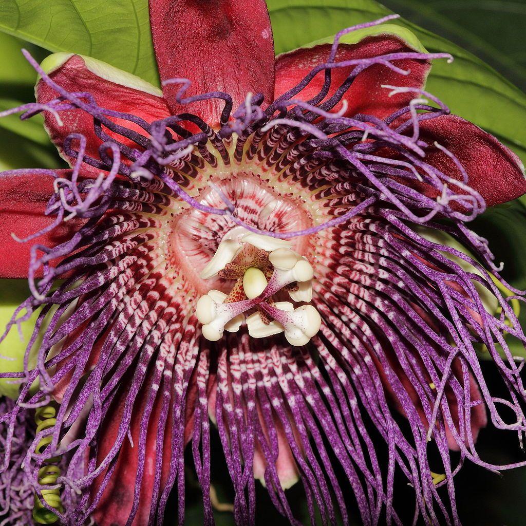 Passiflora Quadrangularis Blommor