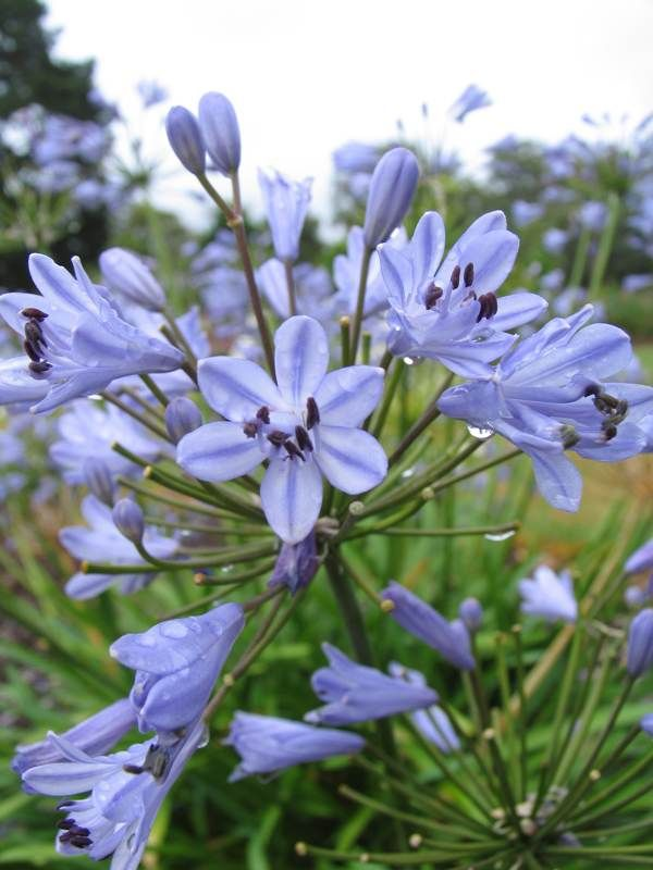 Brilliant Blue Blossoms On Blue Storm Agapanthus Perfect Backyard Garden Plant Bulb Flowers Deer Resistant Shade Plants Easy Garden