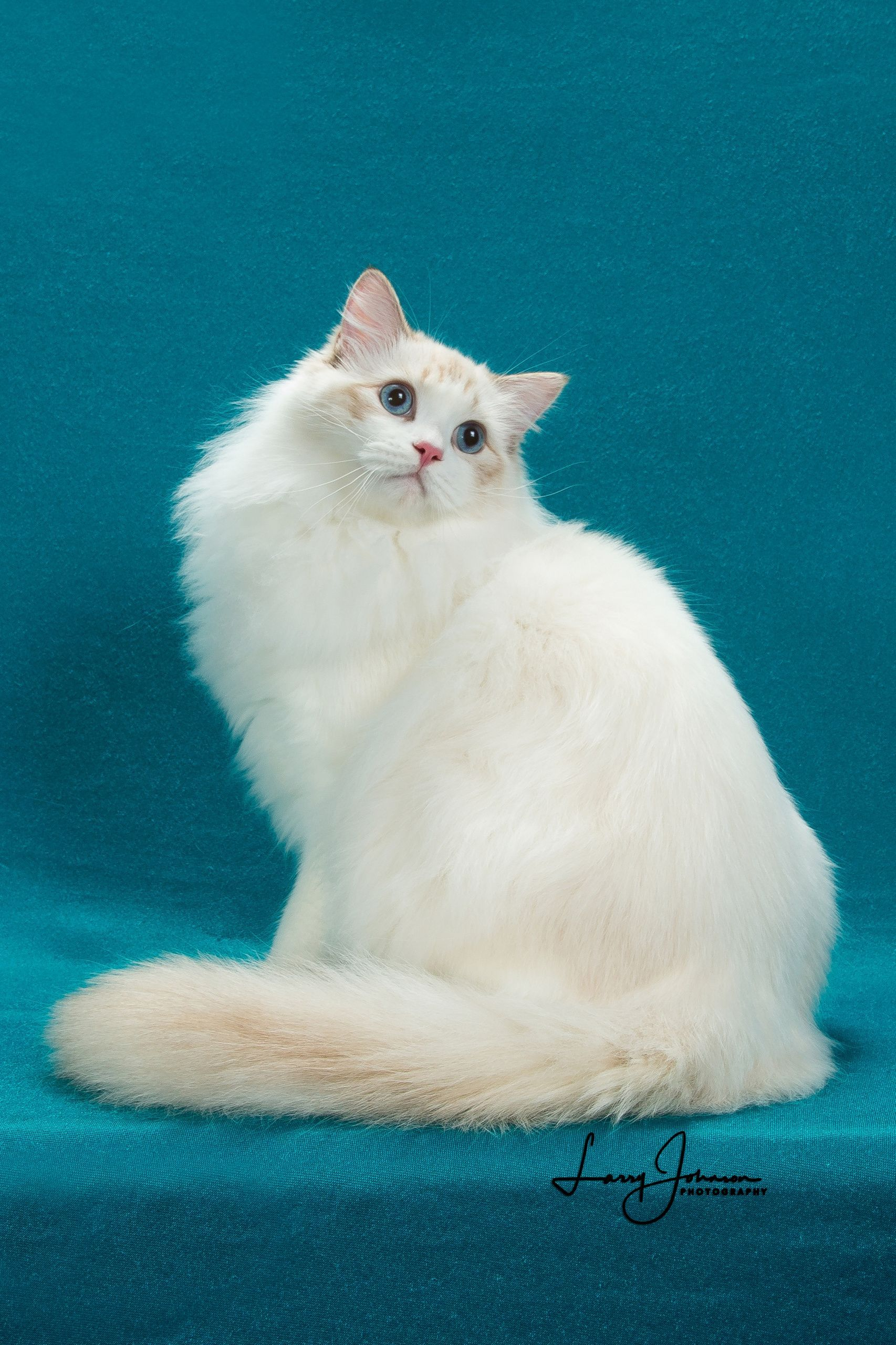 Quality Home Raised Ragdoll Kittens From A Reputable Breeder In Tuscaloosa Al Transport Available Nationwide Www Fac Cat Breeder Ragdoll Cat Ragdoll Kitten