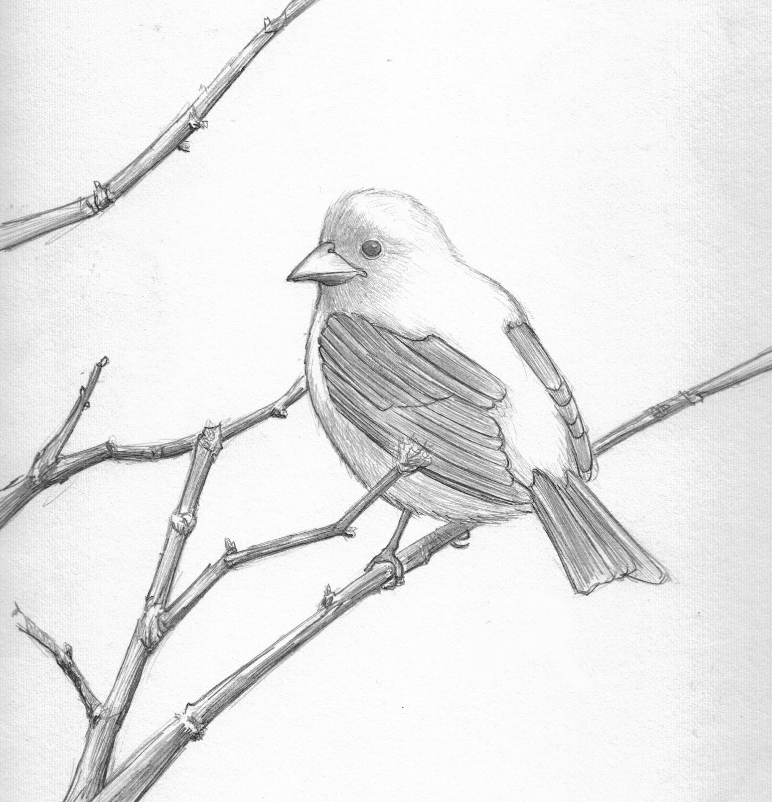 drawings of love birds bird pencil drawing scarlett tanager