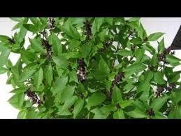 Image Result For عشبة الهدس Plants Herbs Health