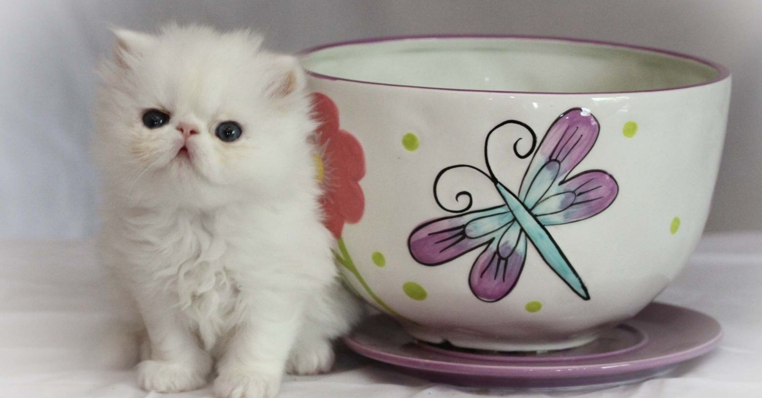 Teacup Persian Cat Persian kittens for sale, Teacup