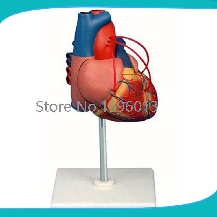 Human heart Bypass model,Heart bypass Surgery model | School ...