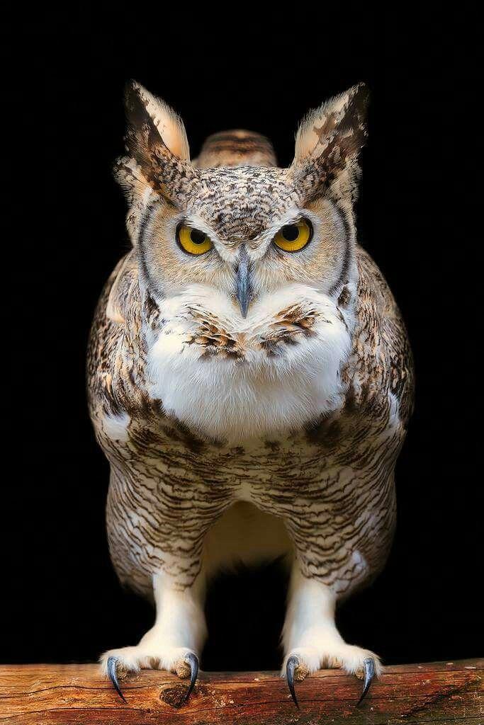 Best 25 Horned Owl Ideas On Pinterest Great Horned Owl