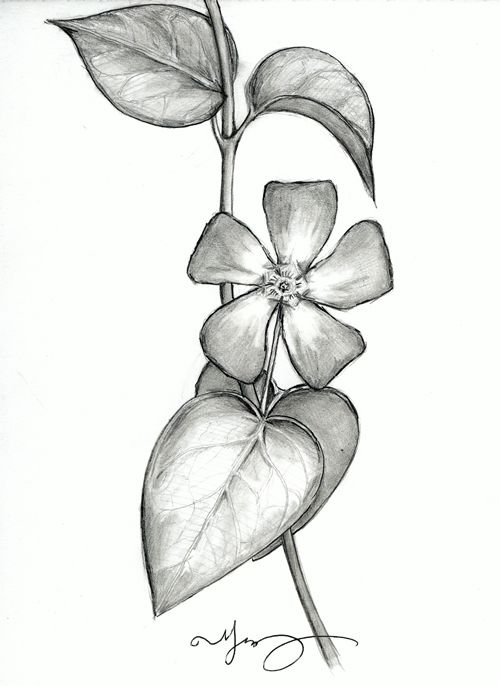 Sugar dipped illustrations bank flower oleander sketch