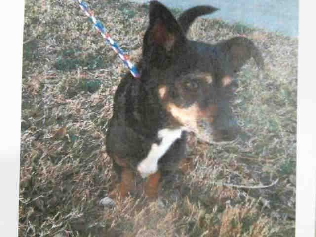 Chiweenie Dog For Adoption In Plano Tx Adn 466100 On Puppyfinder