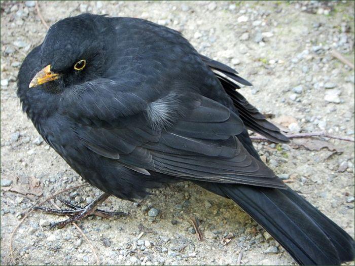 Amsel Jahreszeiten Galerie Community Heimische Vogel