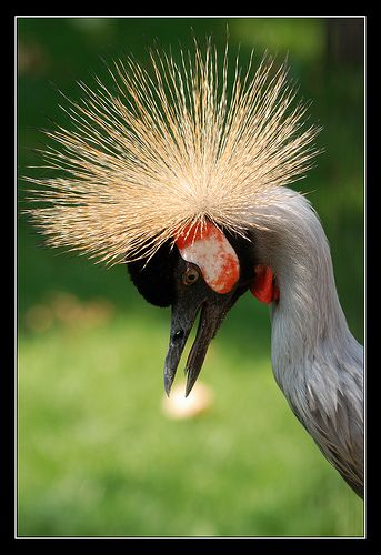 Crowned Crane (Balearica pavonia)