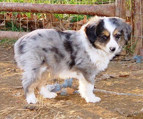 Toy Australian Sheperd Want One Toy Australian Shepherd Australian Shepherd Aussie Dogs