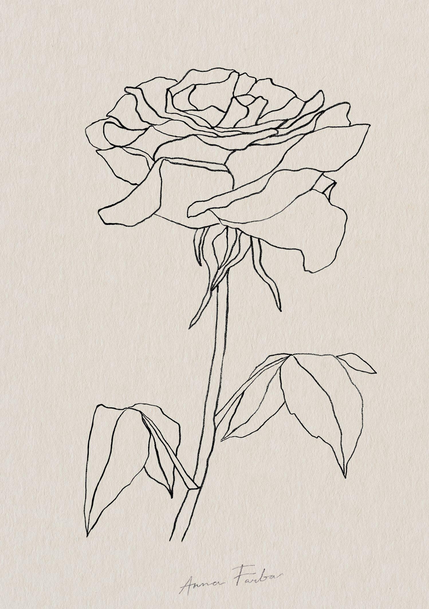 Rose drawing by Anna Farba botanical illustration studio